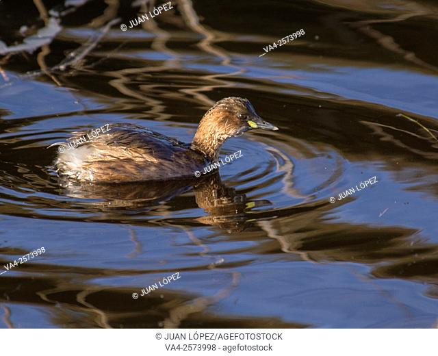 Young grebe in its first autumn. El Remolar, Viladecans, Barcelona province, Spain