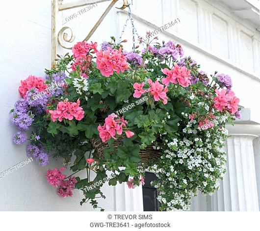HANGING BASKET IVY LEAVED PELARGONIUM
