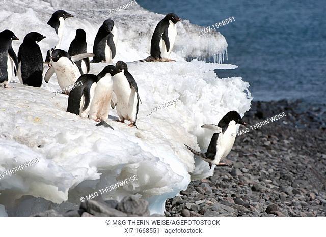 Adelie penguins Pygoscelis adeliae jumping on the beach, Paulet Island, Erebus and Terror Gulf, Antarctic peninsula