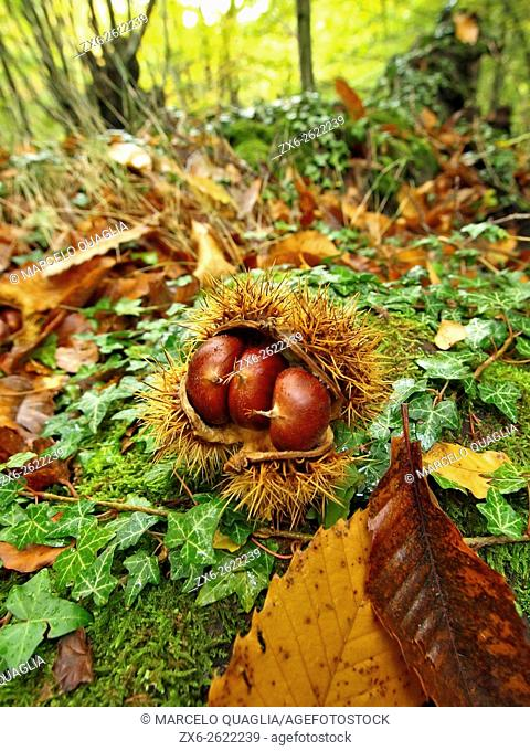 Fallen chestnuts and bur (Castanea sativa) at forest. Viladrau village countryside. Autumn at Montseny Natural Park. Barcelona province, Catalonia, Spain