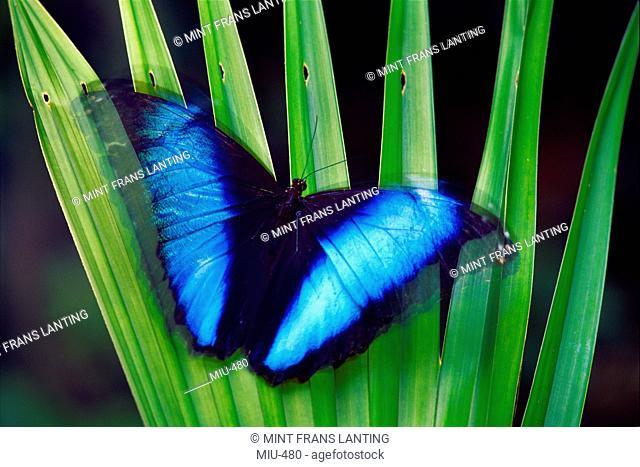 Morpho butterfly, Morpho deidamia, Manu National Park, Peru