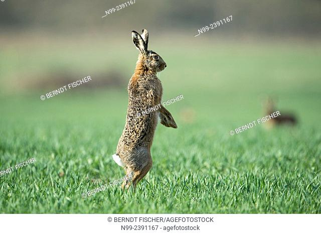 Hare (Lepus capensis), standing on outlook, Bavaria, Germany
