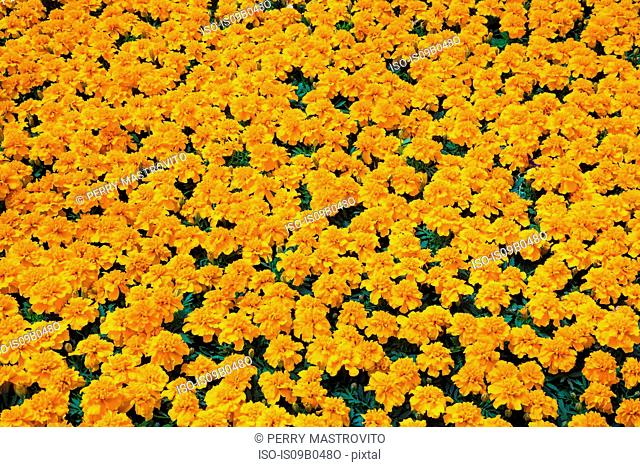 Packed orange Tagetes - Marigold flowers in containers in commercial greenhouse in spring