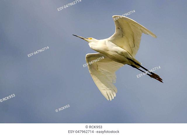 Snowy Egret Flying in Blue Sky