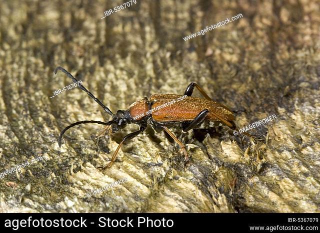 Red-necked buck (Leptura rubra), Germany, Europe