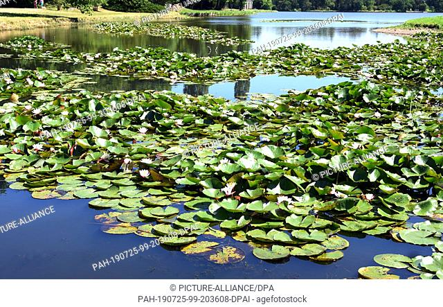 23 July 2019, Saxony-Anhalt, Wörlitz: Hundreds of water lilies bloom on the Great Lake in Wörlitz Park. The Wörlitz Park was created by Prince Leopold III...