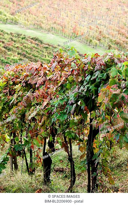 Grapevines in Autumn Color