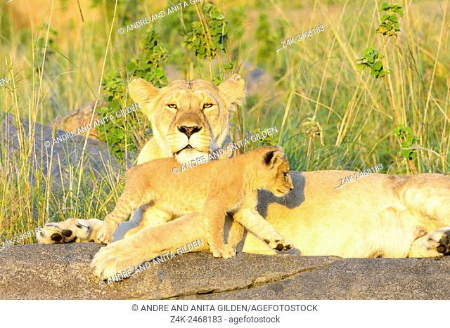 African Lion (Panthera leo) mother and cub, lying and playing on a rock in early morning light, mother looking at camera, Serengeti national park, Tanzania