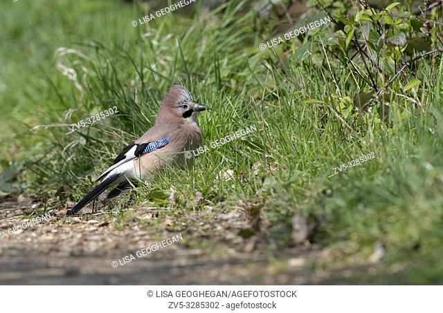 Jay-Garrulus glandarius feeds. Spring. Uk