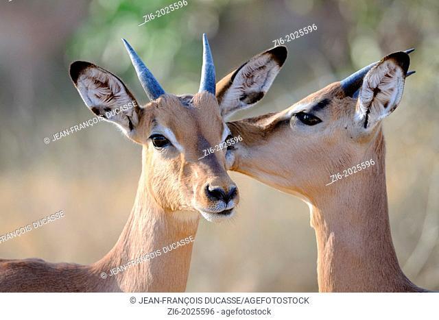 Impalas (Aepyceros melampus), Kruger National Park, South Africa, Africa
