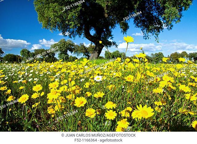 Meadow in spring, La Serena, Badajoz province, Extremadura, Spain