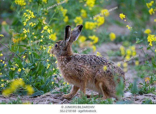 European Brown Hare (Lepus europaeus). Adult in a flowering oilseed rape field, Germany