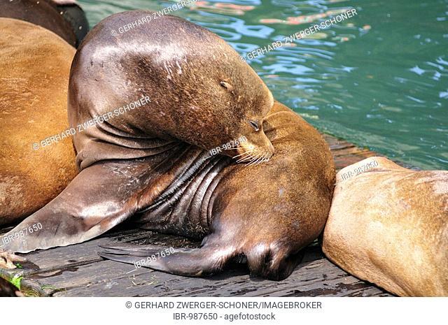 Steller or Northern Sea Lion (Eumetopias jubatus) on a wooden pallet, Oregon, USA