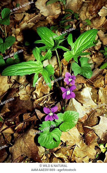 Palmate-Leaf Violet (Viola palmata)