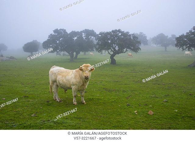Bull and cows in a meadow in the mist. Los Pedroches valley, Cordoba province, Andalucia, Spain