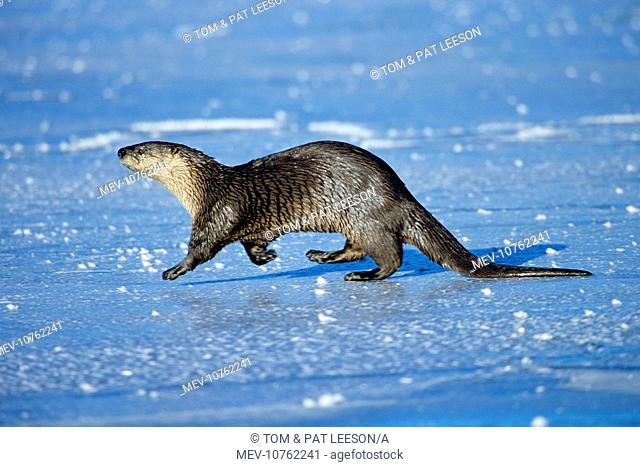 River Otter - trotting across frozen pond, winter. (Lutra canadensis)
