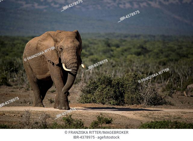 African bush elephant (Loxodonta africana), Addo Elephant National Park, South Africa