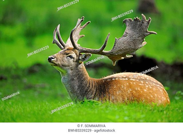 fallow deer (Dama dama, Cervus dama), stag with velvet antler lying in a forest meadow, Germany