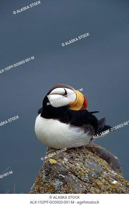 Horned Puffin sitting on rock Round Island SW AK summer portrait