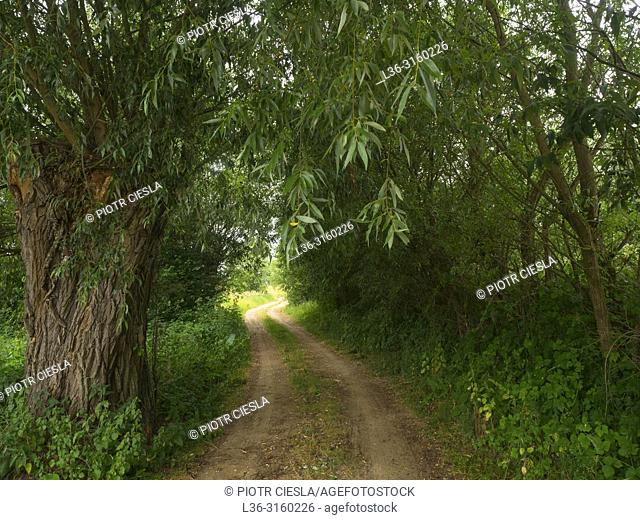 Country road with willow. Poland