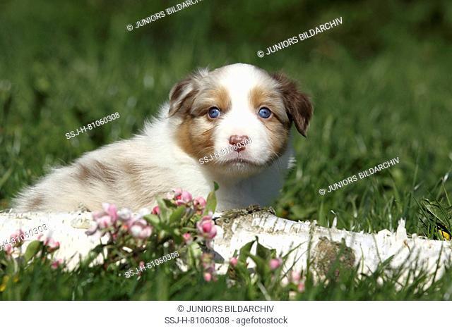 Australian Shepherd. Puppy (5weeks old) lying behind a birch log and flowering cherry twigs. Germany