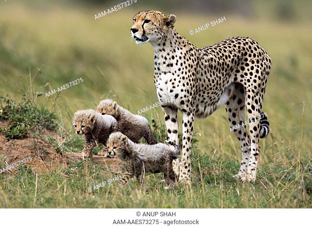 Cheetah female standing with her cubs aged 1-3 months (Acinonyx jubatus). Maasai Mara National Reserve, Kenya. Sep 2008