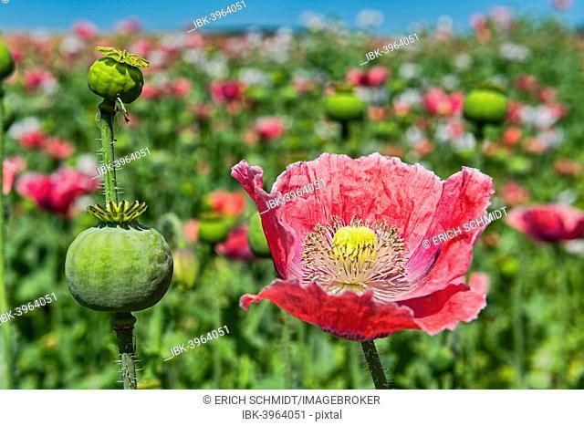 Opium Poppy (Papaver somniferum), flower and flower buds