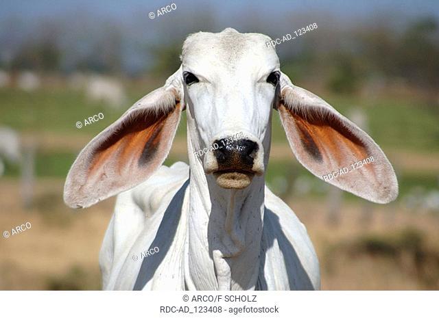 Zebu cattle Costa Rica