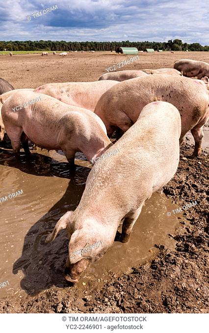 Some pigs wallowing in mud in a field in Cove Hithe , Suffolk , England , Britain , Uk