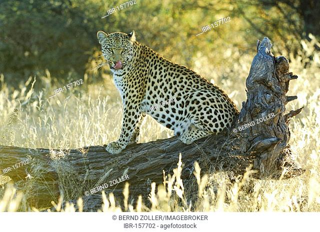 Leopard (Panthera pardus) resting in backlight