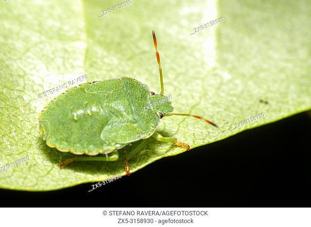Green Shield Bug (Palomena prasina) - Umbria, Italy