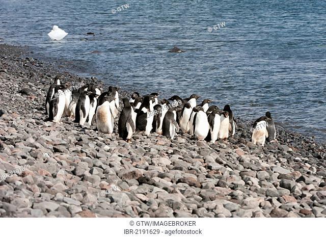 Group of Adelie penguins (Pygoscelis adeliae) on the stone beach, Paulet Island, Erebus and Terror Gulf, Antarctic Peninsula, Antarctica