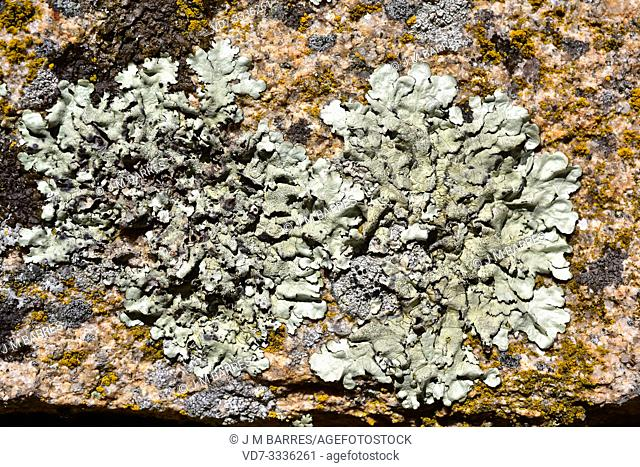 Parmelia caperata or Flavoparmelia caperata is a foliose lichen with soralia and occasionally abrown apothecia. This photo was taken in Arribes del Duero...