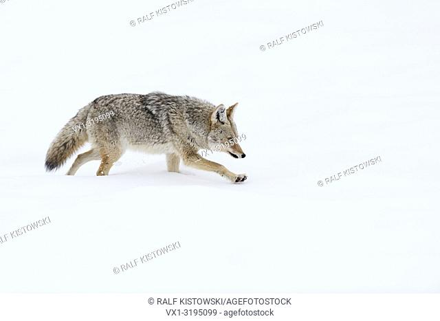 Coyote (Canis latrans) in winter, walking through deep snow, seems to be exhausted, Yellowstone NP, Wyoming, USA