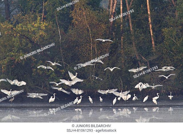Common egret (Ardea alba, Casmerodius alba) , flock of adults in non-breeding plumage, flying