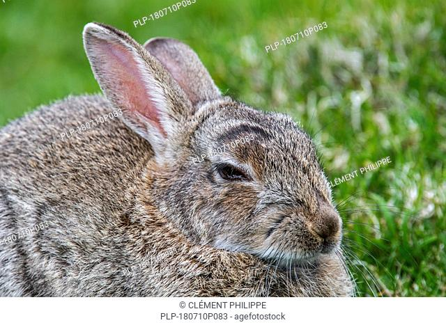 Close up of European rabbit (Oryctolagus cuniculus) lying down and resting in meadow