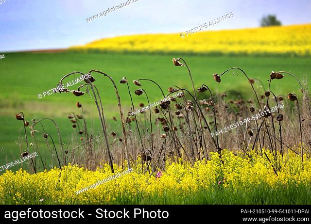 10 May 2021, Bavaria, Werneck: Withered sunflowers stand in flowering rape in the Lower Franconian district of Schweinfurt