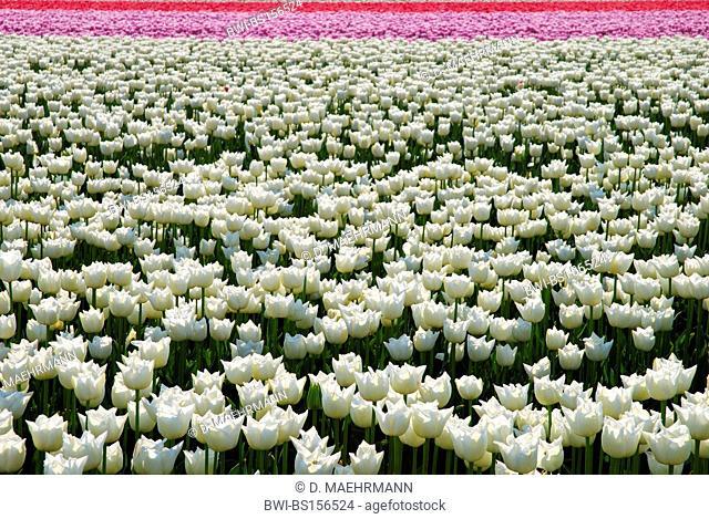 common garden tulip (Tulipa spec.), blooming tulip field, Netherlands, Netherlands, Den Helder