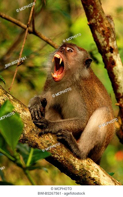 Crab-eating Macaque, Java Macaque, Longtailed Macaque Macaca fascicularis, Macaca irus, male resting on a branch yawning, Malaysia, Sarawak, Bako National Park