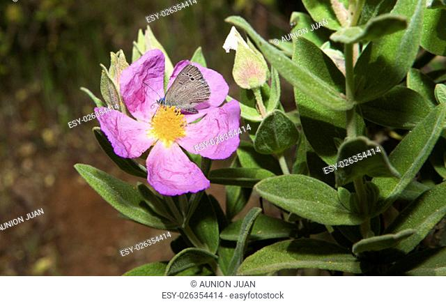Blue butterfly on pink flower, Alor Mountain Range, Extremadura, Spain