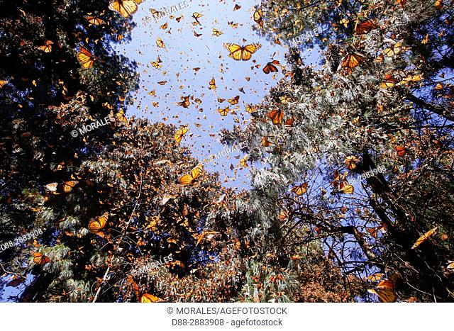 Mexico, State of Michoacan, Angangueo, Reserve of the Biosfera Monarca Sierra Chincua, monarch butterfly (Danaus plexippus)