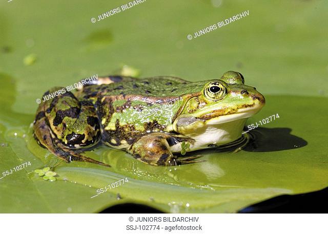European edible frog on water lily leaf / Rana esculenta