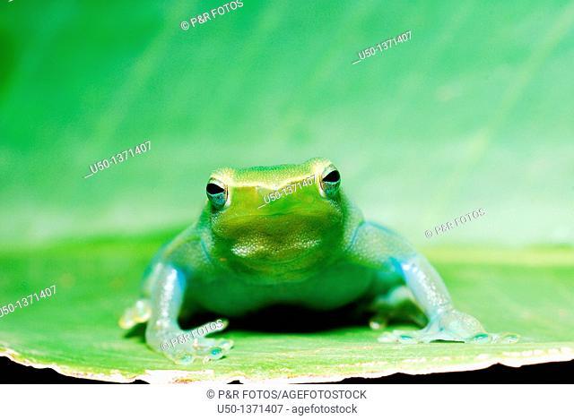 Green tree frog Hylidae, Anura, 2009