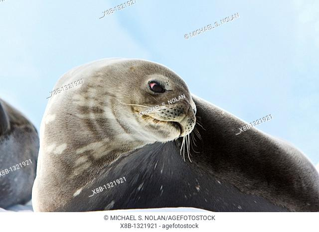 Weddell Seal Leptonychotes weddellii hauled out on ice on Usefull Island near the Antarctic Peninsula, southern Ocean  This is the most southerly breeding seal...