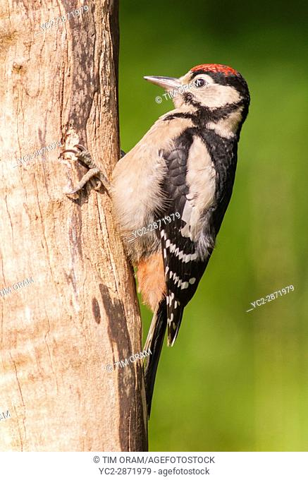 A young Great Spotted Woodpecker (Dendrocopos major) on a tree in the uk