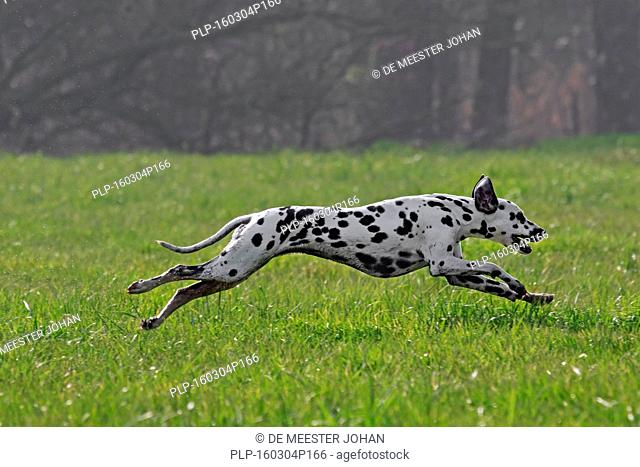 Dalmatian / carriage dog / spotted coach dog running in field