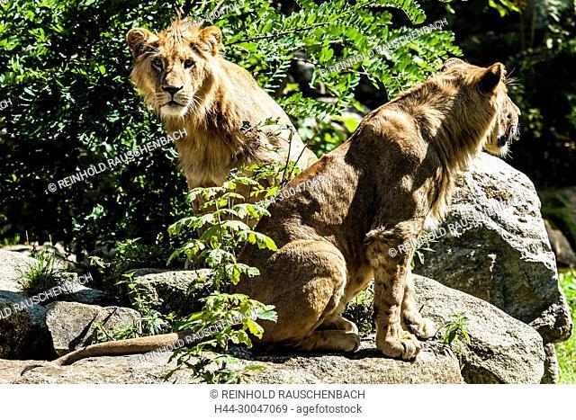DerLöwe -pantera leo - ist das zweitgrößte Landraubtier