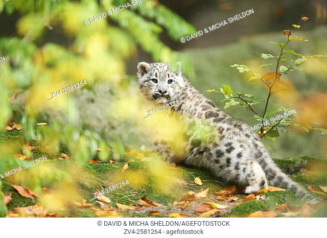Close-up of a snow leopard (Panthera uncia syn. Uncia uncia) youngster in autumn. Captive. Germany