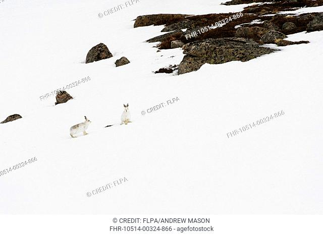 Mountain Hare (Lepus timidus) adult pair, in winter coat, standing on snow covered slope, Cairngorms N.P., Grampian Mountains, Highlands, Scotland, February
