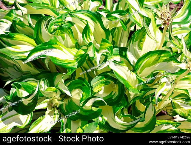 Greeen and white striped leaves plant floral background